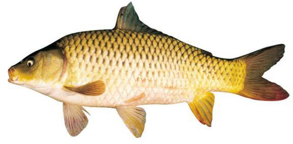 Cá Chép ...
